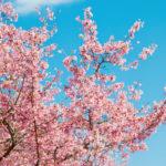 春の桜-小学校入学前の準備